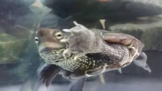 人間の手を餌と間違えて 必死に食べに来るクサガメ thumbnail