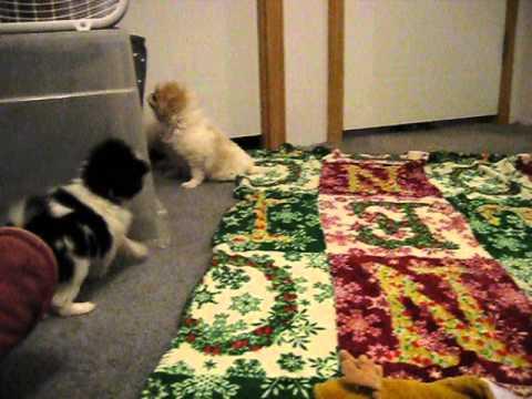Ni Kokoro Japanese Chin ~ 12 31 14  Hestia, Fizzz, Asti and baby girl
