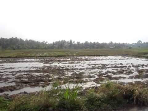 Regnblöta på risfälten i Huay Yang