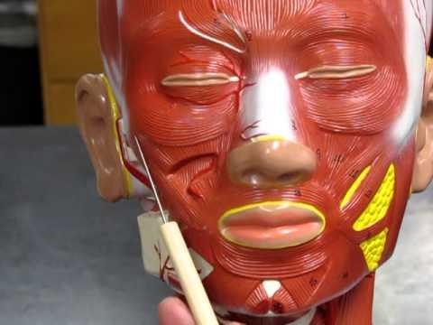 Head & Neck Muscles-Model AP1 - YouTube