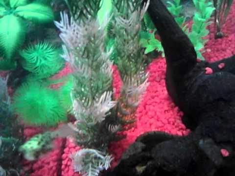 Puffer Fish Brackish Tank