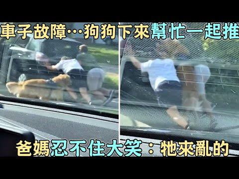 车子故障…狗狗下来「帮忙一起推」爸妈忍不住大笑(视频)