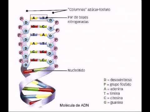 Relatos De Ciencia 2 Adn Estructura Y Función Youtube