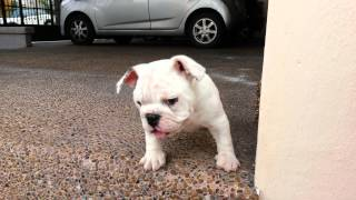 Bulldog Ingles Bracho's Bulldogs
