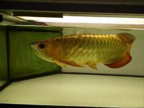 Champion Arowana Fish from Malaysia -