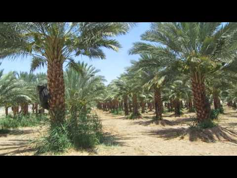 This is the wild honey that John the Baptist ate in the desert - A dates plantation in Israel