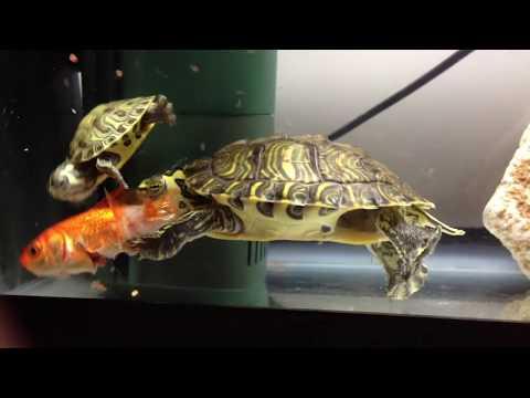 Turtle Eats Fish Alive