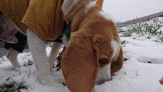 Beagle #ビーグル #うぃるさん この地域では雪が降るのも珍しいので… ...