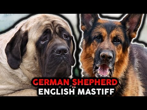 GERMAN SHEPHERD VS ENGLISH MASTIFF! The Best Guard Dog Breed For First Time Owners!