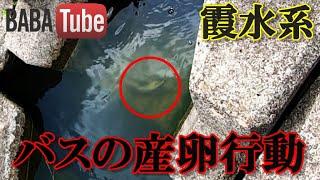 BABATube【霞水系】バスの産卵(30cm)