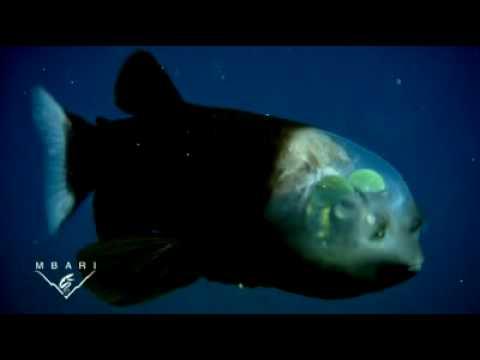Fisch Mit Durchsichtigem Kopf