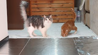 Foil Challenge : Can Cats Walk on Foil?