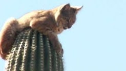 Bobcat atop Saguaro Cactus in Gold Canyon, AZ