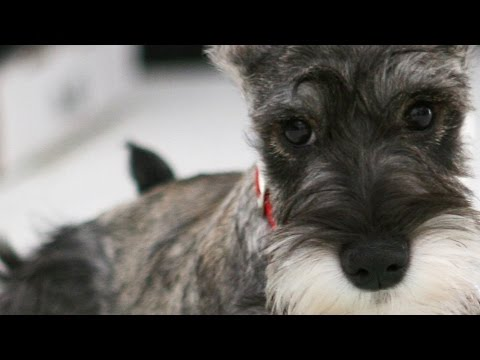 Cute Miniature Schnauzer Puppy - The Poppy