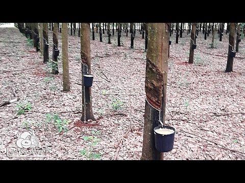 Как выглядит каучуковое дерево