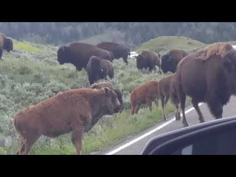 yellowstone bison block party