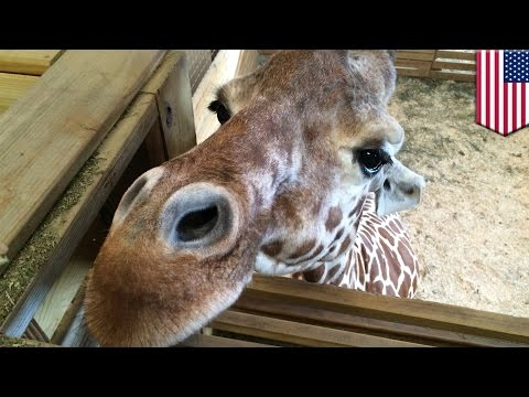 Giraffe cam birth: YouTube drops, then reinstates live feed due to nudity complaints - TomoNews