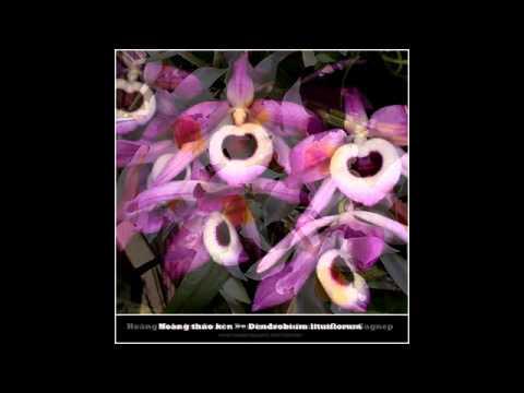 Mặt hoa và Tên Các Loại Trong Chi lan Hoàng Thảo - Dendrobium - www.hoalancaycanh.com