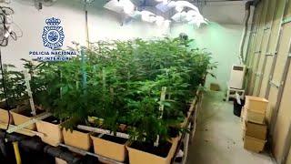 Desarticulada una organización dedicada al cultivo, recolección y distribución de marihuana