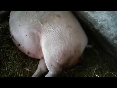 Как рожает свинья видео