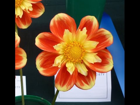 National Dahlia Show at RHS Garden Wisley Flower Show on 8 Sept 2015