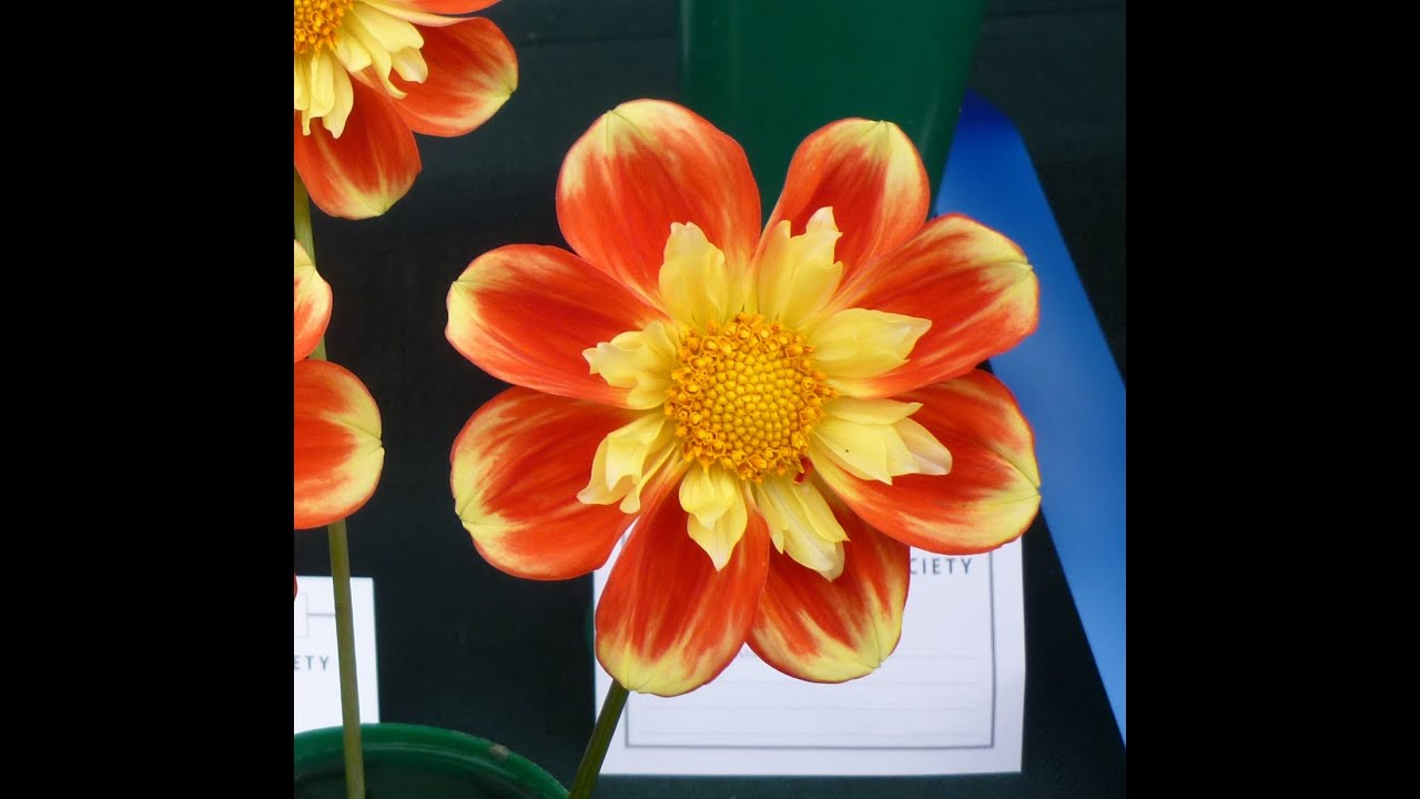 Prepossessing National Dahlia Show At Rhs Garden Wisley Flower Show On  Sept  With Likable National Dahlia Show At Rhs Garden Wisley Flower Show On  Sept    Youtube With Lovely Hilton Garden Inn Check In Time Also Reeves Garden In Addition Savannah Midnight In The Garden Of Good And Evil Tour And Arbours For Gardens As Well As St Martins Covent Garden Additionally Ruxley Garden From Youtubecom With   Likable National Dahlia Show At Rhs Garden Wisley Flower Show On  Sept  With Lovely National Dahlia Show At Rhs Garden Wisley Flower Show On  Sept    Youtube And Prepossessing Hilton Garden Inn Check In Time Also Reeves Garden In Addition Savannah Midnight In The Garden Of Good And Evil Tour From Youtubecom