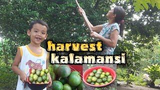 harvest KALAMANSI sa likod bahay@Ivy Miranda VLOG