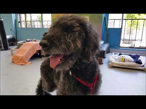 Maxwell, a male Labradoodle at Muttville