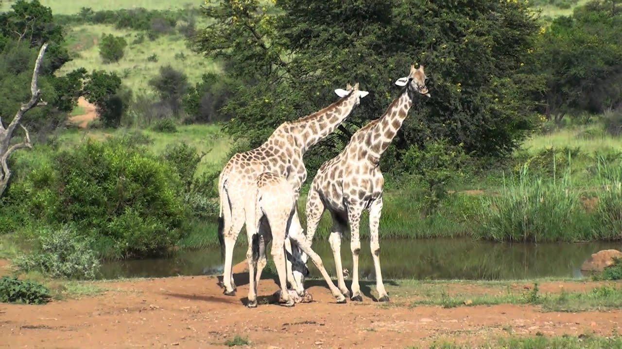 Black Bear Decorations Home Zebra Giraffe Cross Breed