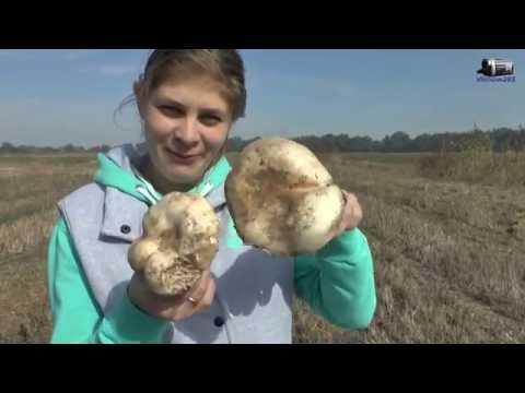 Как растут настоящие грибы шампиньоны в поле. Как мы собирали грибочки.