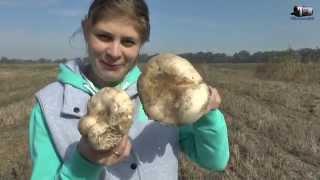 Как растут настоящие грибы шампиньоны в поле. Как мы собирали грибочки.(Как растут шампьньоны, как мы собирали грибы в поле. Это видео было снято в начале октября 2014 года в краснода..., 2014-10-19T15:57:56.000Z)