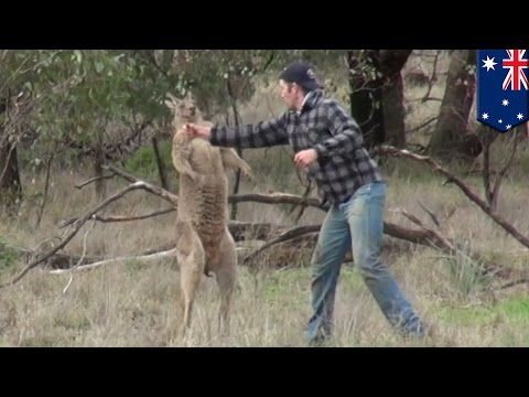 Pria memukul kanguru untuk menyelamatkan anjingnya - Tomonews