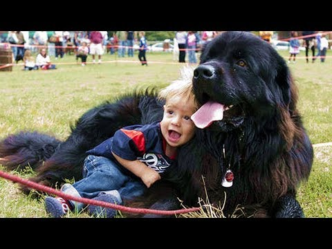 Newfoundland Dog Playing With Baby   Dog Loves Baby Compilation