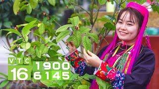 Siêu trà bạc triệu, người trồng đếm tiền mỏi tay | VTC16