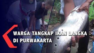 Warga Tangkap Ikan Langka di Purwakarta
