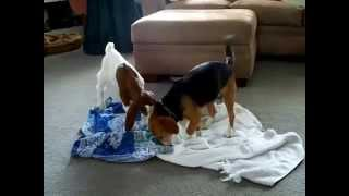 Baby Goat and Beagle Puppy Playing
