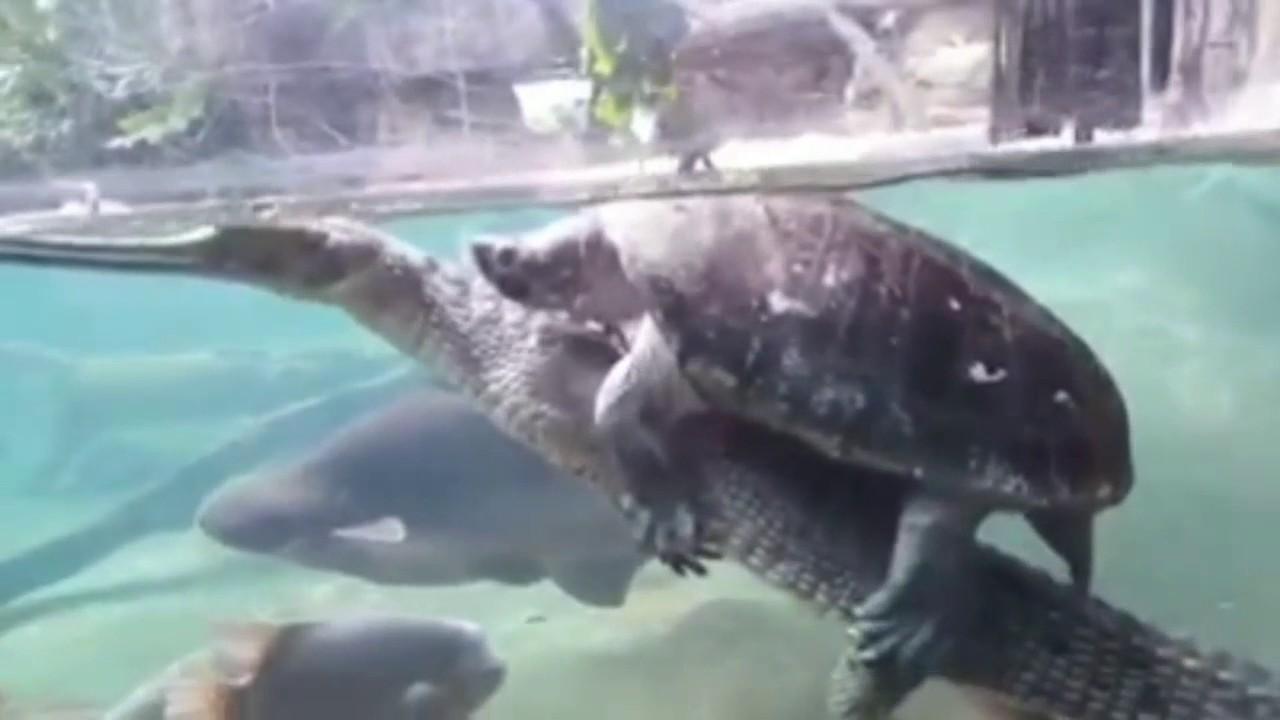 maxresdefault amazing things happens,turtle riding alligator in aquarium youtube