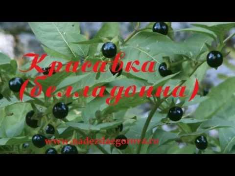 Красавка обыкновенная, или белладонна: описание растения