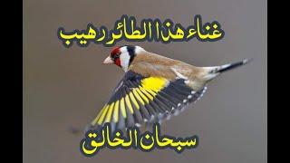 تغريد طائر الحسون   أروع تغريد مقنين في العالم