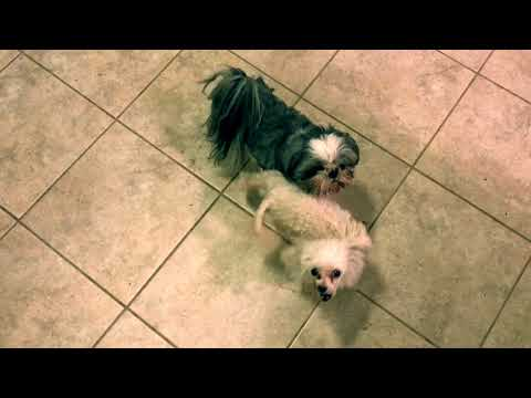 Dirty Dancing Poodle and Shih Tzu