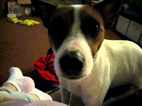 Jack russell terrier cries for a bone youtube - Jack russel queue coupee ...