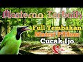 Masteran Burung Cucak Ijo Siap Tempur Full Isian  Mp3 - Mp4 Download