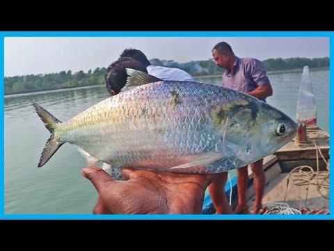Fast Hilsa Fishing (Live) In Local Big River | Fish Corn