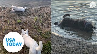 Dogs die after playing in pond with toxic algae | USA TODAY