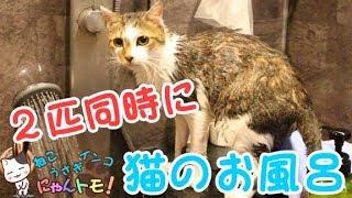 猫のお風呂動画です。 今回はみさおとこよみを2匹同時にお風呂に入れま...
