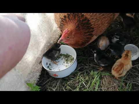 Наседка бросила гнездо. Яйца остыли на несколько часов. Что получилось?!