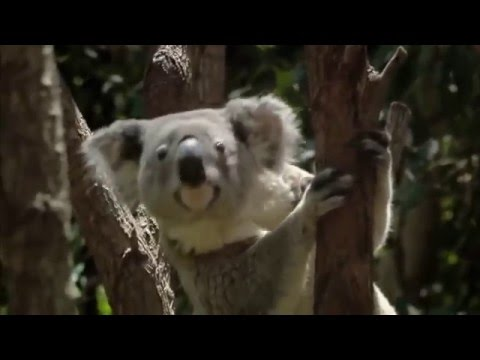 Koalas Invade the Suburbs : Documentary on Koalas Living Alongside Humans (Full Documentary)