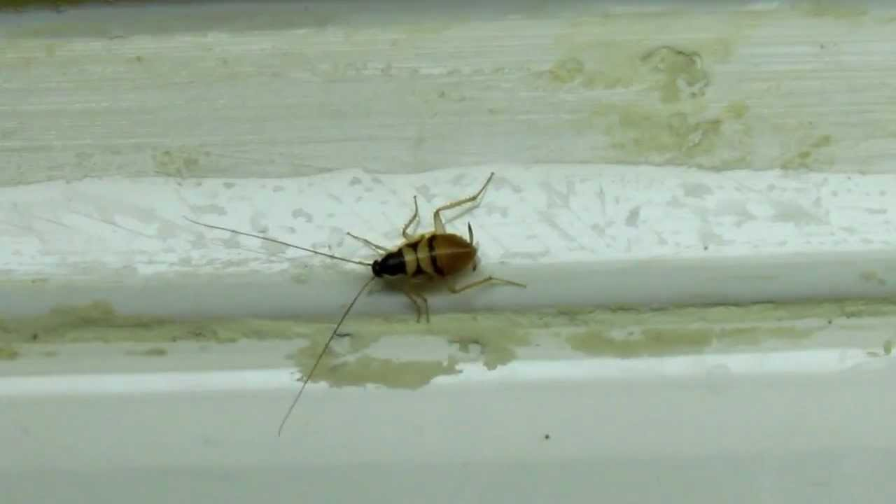 Termite Pest Controls: How To Get Rid Of German Cockroach