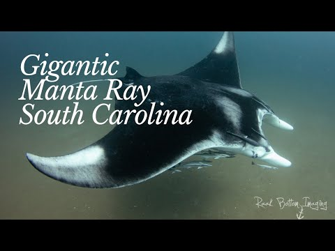 gigantic-manta-rays-spotted-in-south-carolina