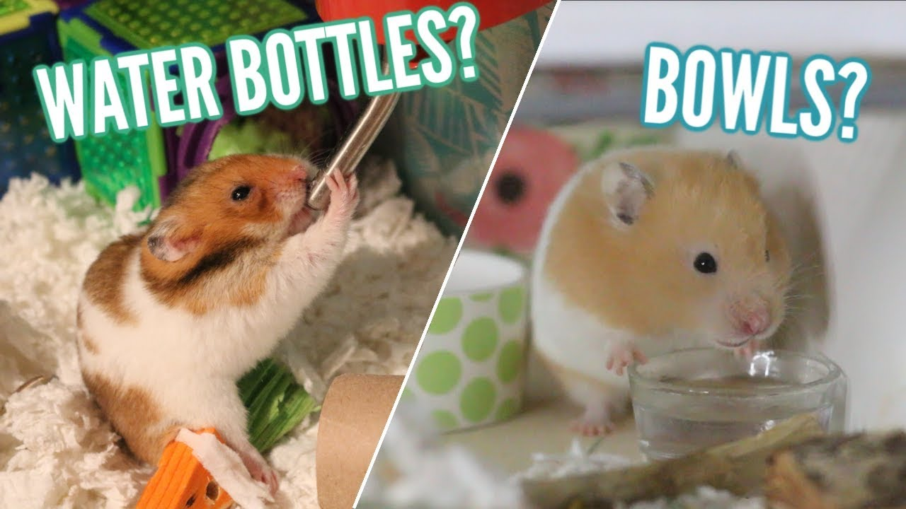 Water bottles OR Bowls? | hamster care